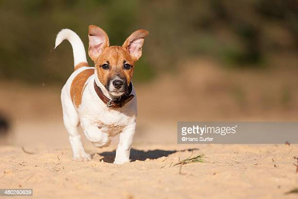 a 14 weeks jack russel terrier puppie! - jack russell terrier stock pictures, royalty-free photos & images