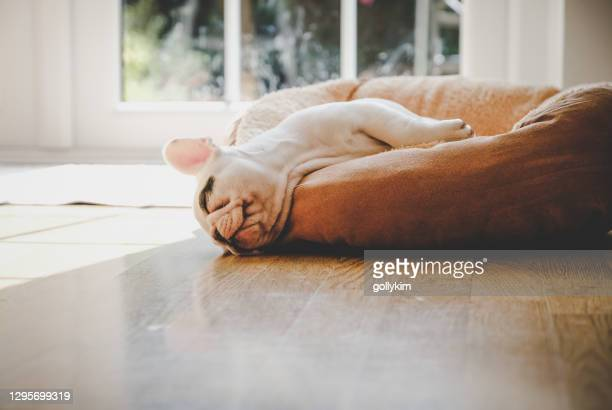 8 weeks old french bulldog puppy sleeping on dog bed - pet bed stock pictures, royalty-free photos & images