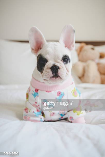 8 weeks old french bulldog puppy wearing pajamas lying down on bed - animal costume stock pictures, royalty-free photos & images