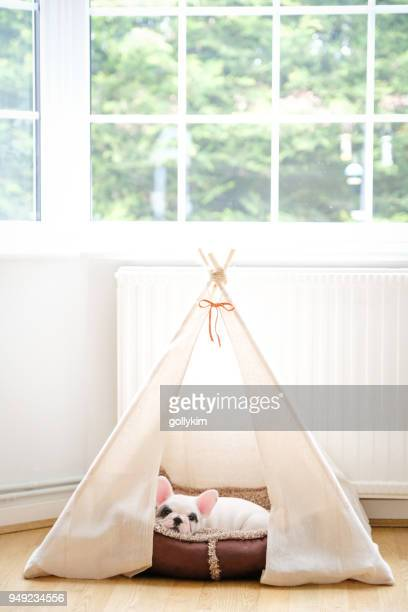 8 weeks old pied french bulldog puppy resting inside teepee tent - pampered pets stock pictures, royalty-free photos & images