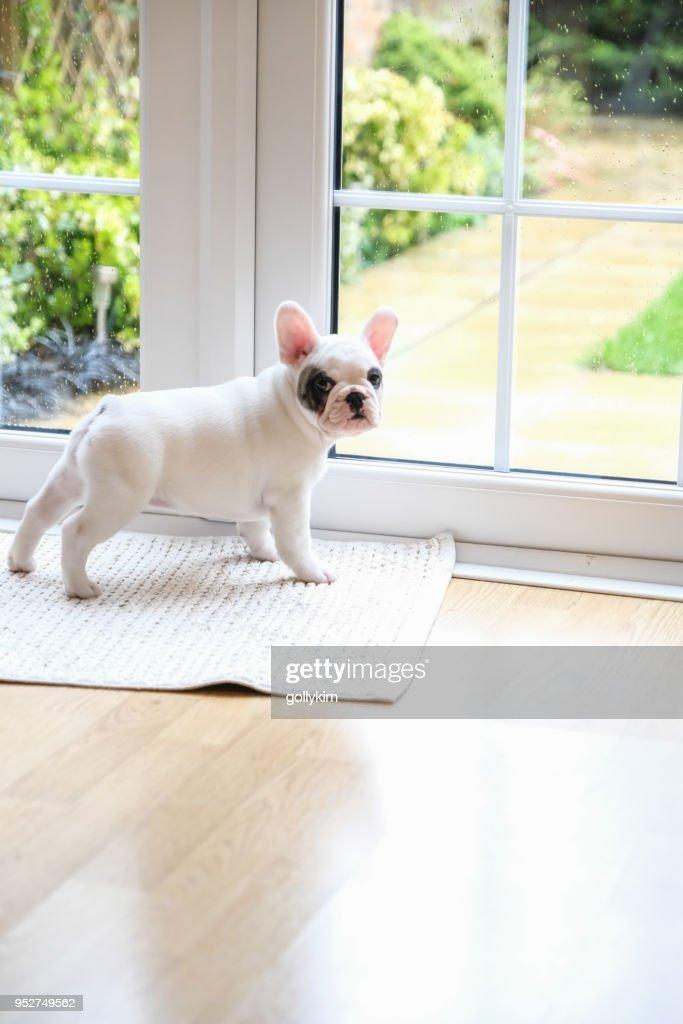 espera de 8 semanas de idade Pied francês Bulldog cachorrinho na porta para sair : Foto de stock