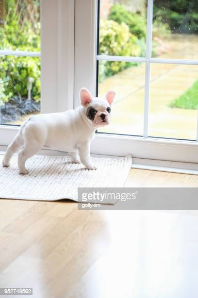 8 weeks old pied french bulldog puppy waiting at the door to go outside - french bulldog stock pictures, royalty-free photos & images