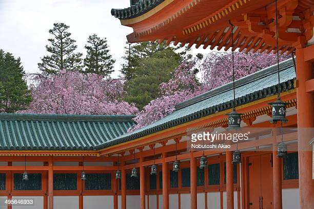 Weeping cherry blossom at Heian Shrine in Kyoto. Heian Shrine, a partial replica of Heian Palace, was constructed in 1895 in commemoration of the...