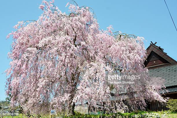 A weeping cherry blossom is in full bloom on April 15 2016 in Kyoto Japan