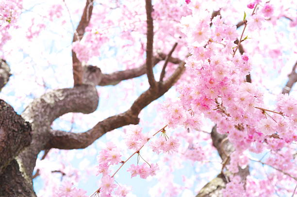 weeping cherry blossoms against blue sky