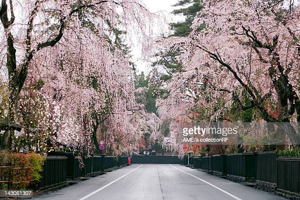 Weeping cherry blossoms, Akita Prefecture, Honshu, Japan