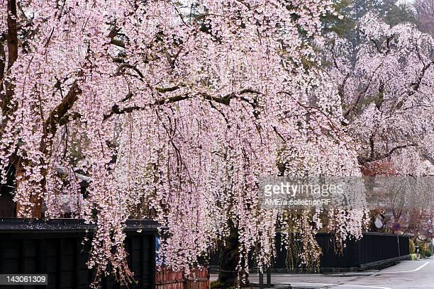 Weeping cherry blossoms, Akita Prefecture, Honshu, Japan