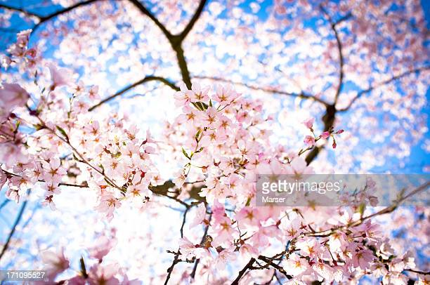 weeping cherry blossoms in full bloom
