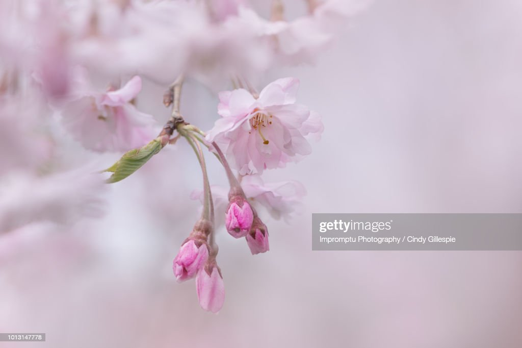 Weeping Cherry blossoms in the Spring : Stock Photo