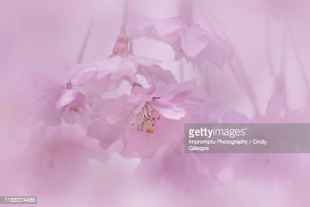 weeping cherry blossoms in the spring - cherry gillespie stock-fotos und bilder
