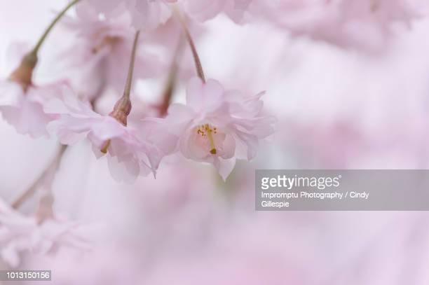 weeping cherry blossoms in the spring wind - cherry gillespie stock-fotos und bilder