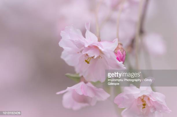 weeping cherry cluster of blossoms in the spring - cherry gillespie stock-fotos und bilder