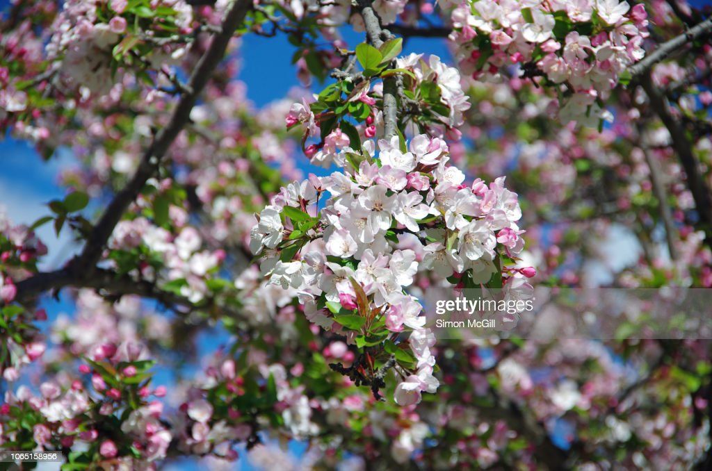 Weeping Cherry Tree In Bloom High Res Stock Photo Getty Images