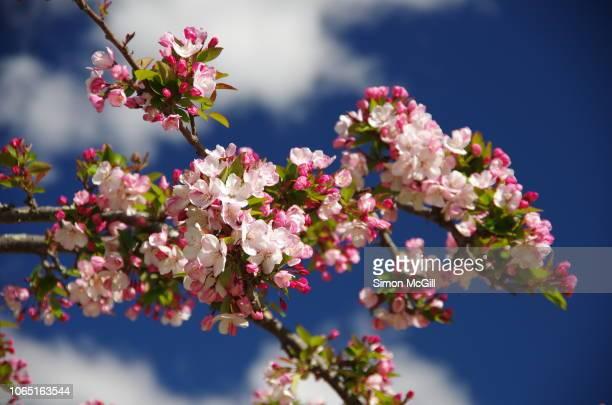 Cerisier A Fleurs Pleureur Photos Et Images De Collection