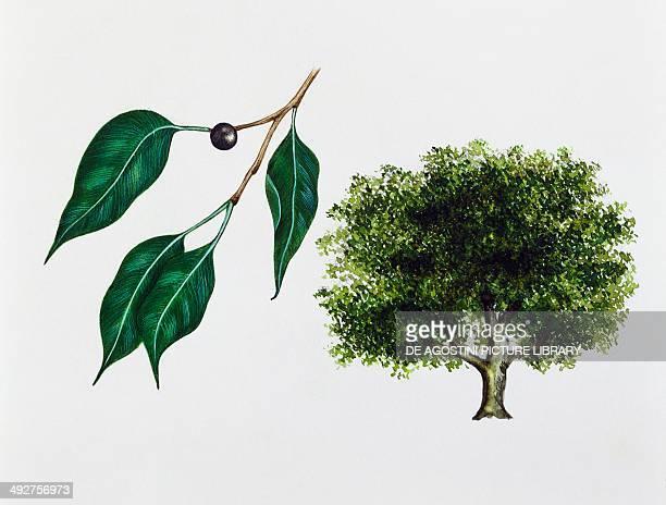 Weeping fig Benjamin's fig or Ficus tree Moraceae tree leaves and fruit illustration