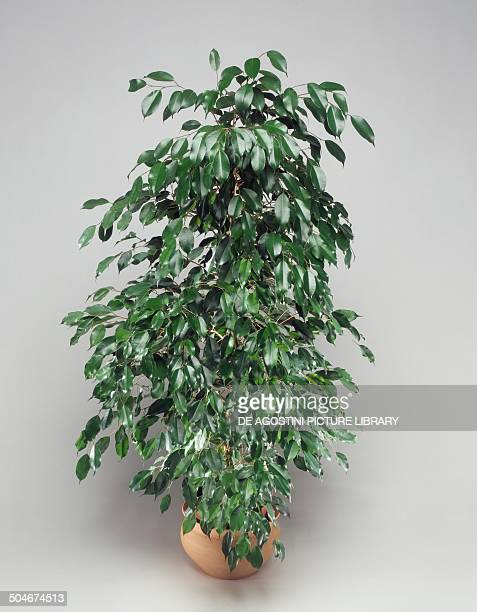 Weeping fig Moraceae