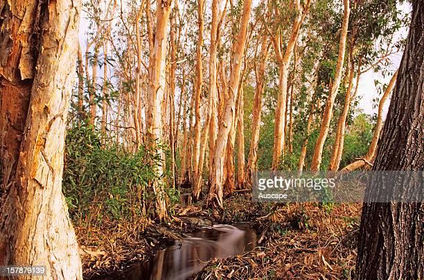 Weeping paperbarks lagoon in Wet season Garig Ganuk Barlu National Park Cobourg Peninsula Arnhem Land Northern Territory Australia