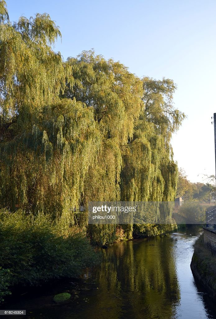 Weeping trees on a river : Stock Photo