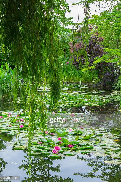 weeping willow and waterlilies, monets garden, giverny, normandy, france, europe - claude monet stock pictures, royalty-free photos & images