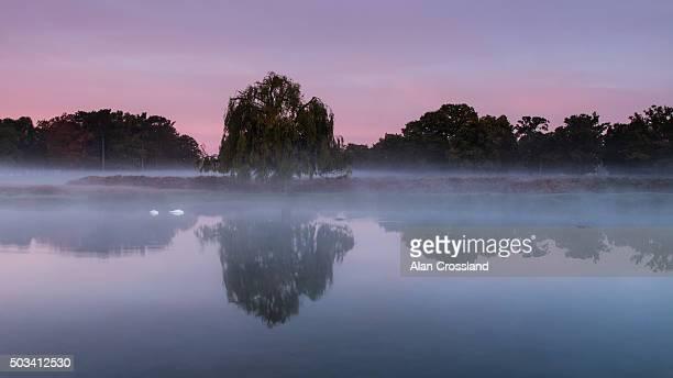 Weeping willow at Dawn