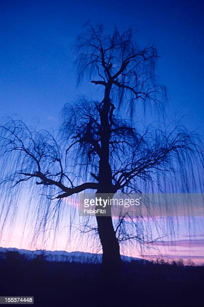 Weeping willow ghostly