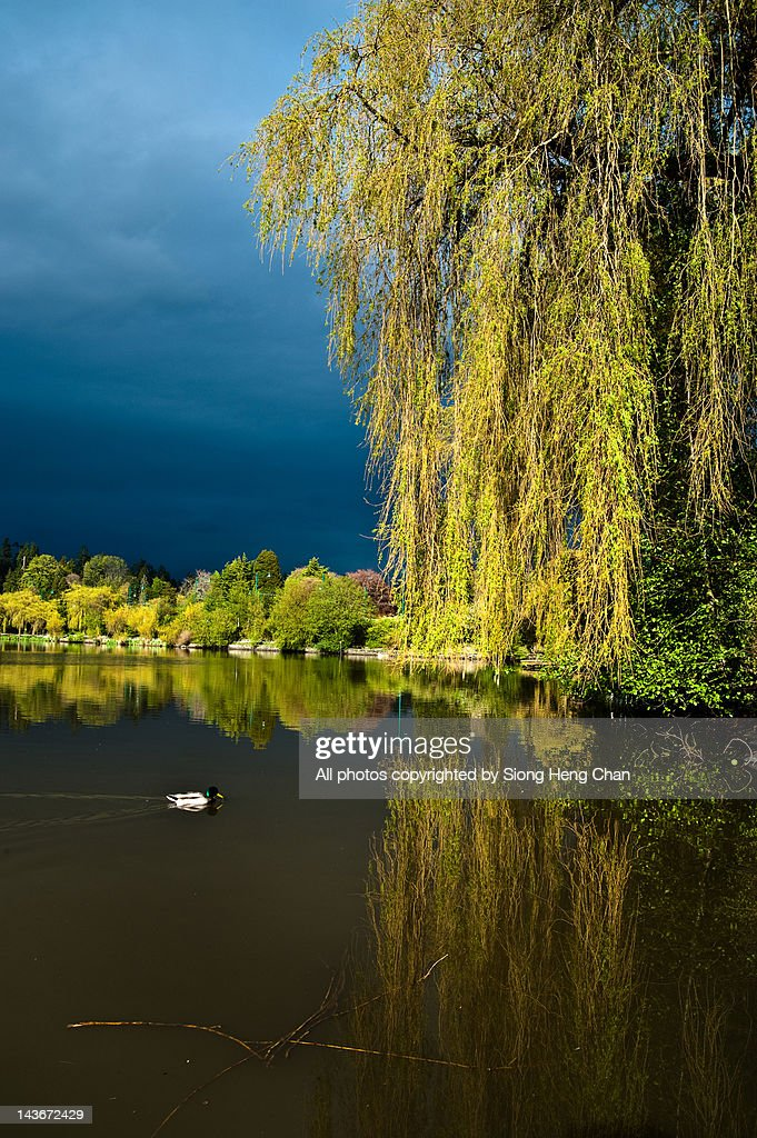 Weeping Willow : Stock Photo