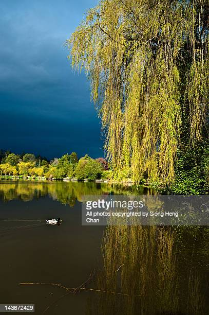 weeping willow - stanley park stock photos and pictures