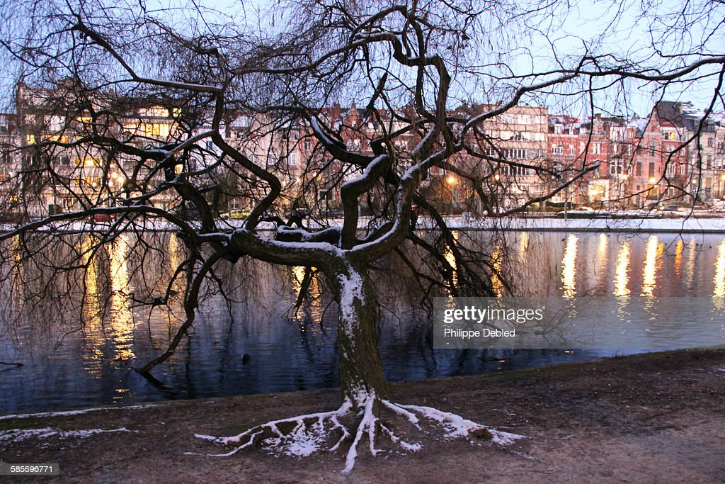 Weeping Willow Tree In Winter Brussels Belgium High Res