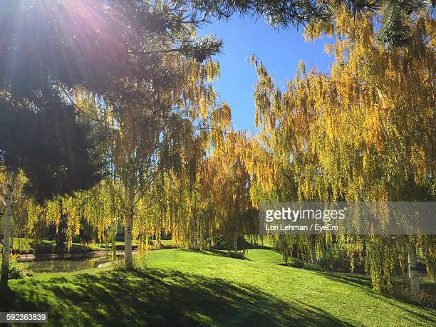 Weeping Willow Trees Growing In Park