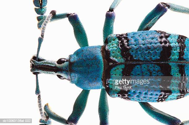 Weevil (Eupholus Schoenherri) on white background, overhead view, close-up