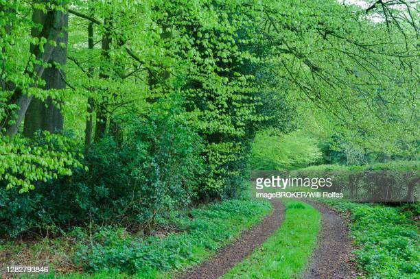 weg im herrenholz, beech forest ( fagus sylvatica) with fresh leaves, herrenholz, ducts, lower saxony, germany - weg fotografías e imágenes de stock