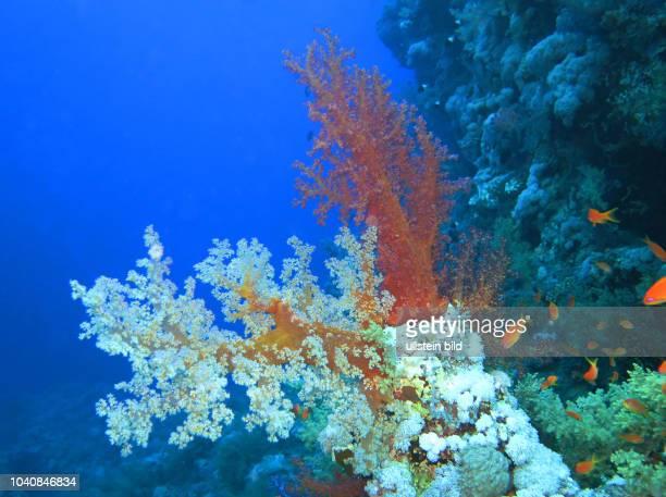 Weichkorallen , Rotes Meer, Aegypten