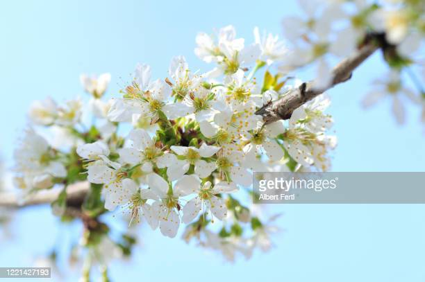 weiße blüten am baum - baum stock pictures, royalty-free photos & images