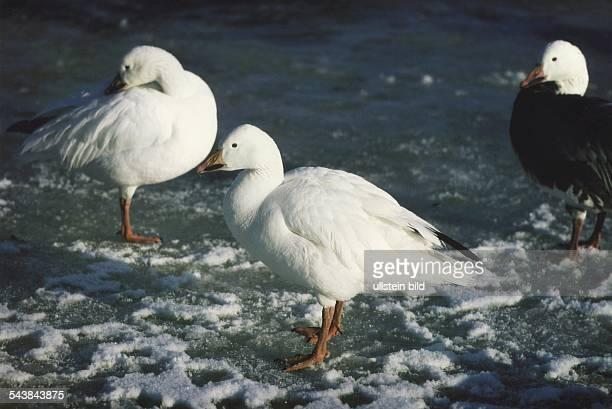 Weiße Schneegänse mit schwarzen Flügelspitzen stehen auf einer Eisfläche. Aufgenommen um 1996.