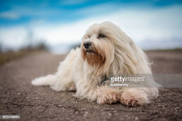 weißer havaneser - maltese dog stock pictures, royalty-free photos & images