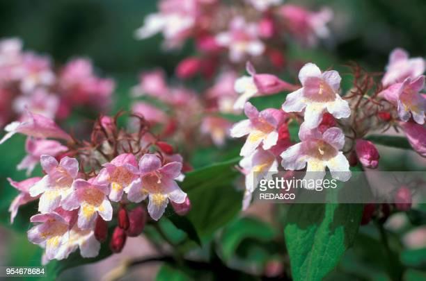 Weigela florida flowers bresso Italy