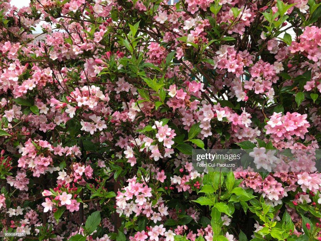 Weigela florida Pink Poppet : Stock-Foto