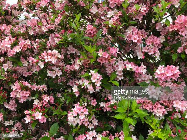 weigela florida pink poppet - rose colored stock pictures, royalty-free photos & images
