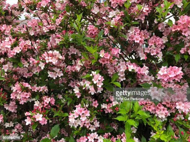 Weigela florida Pink Poppet