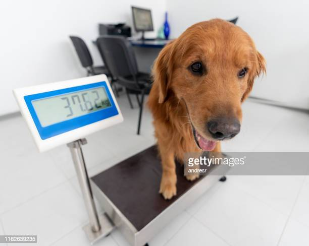 weighting a big dog at the vet - animal scale stock pictures, royalty-free photos & images