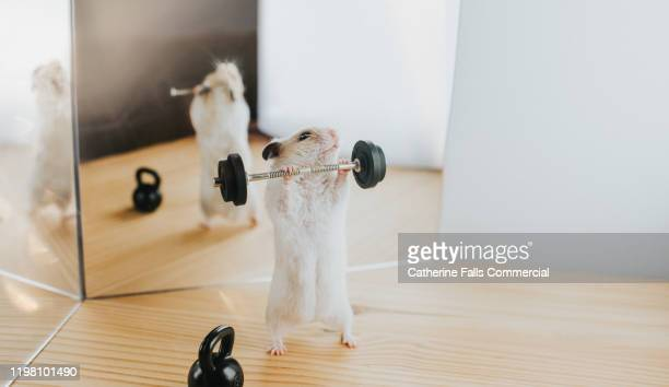 weightlifting hamster - gym stock pictures, royalty-free photos & images
