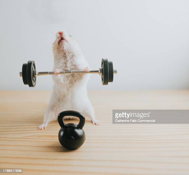 weightlifting hamster - hamster stock pictures, royalty-free photos & images