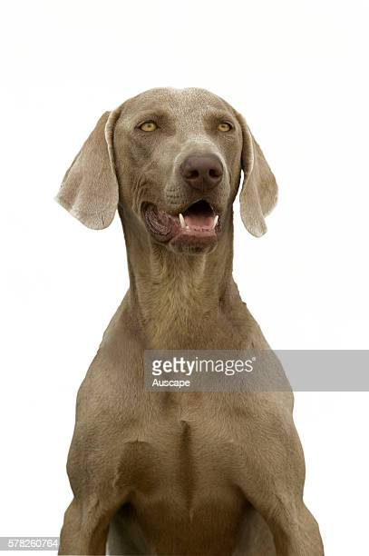 Weimaraner Canis familiaris portrait First used to track large game Weimaraners are good allround hunting dogs