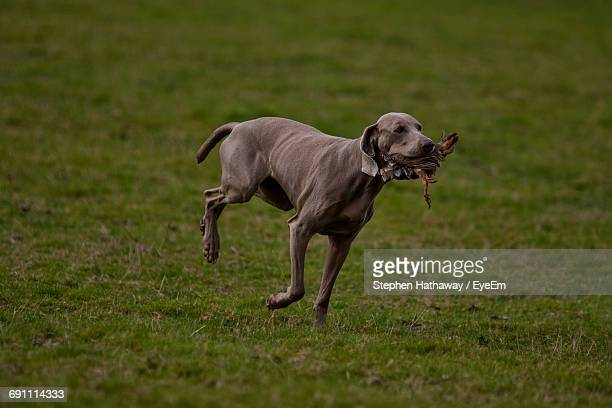 Weimaraner Carrying Dead Bird In Mouth While Running On Grass Field
