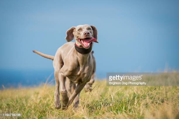 weimaraner dog running in the countryside - dog stock pictures, royalty-free photos & images