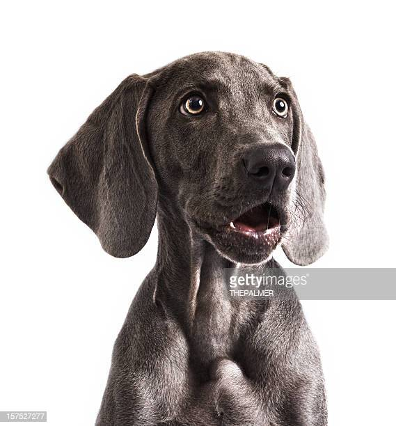 weimaraner in awe - white background stock pictures, royalty-free photos & images