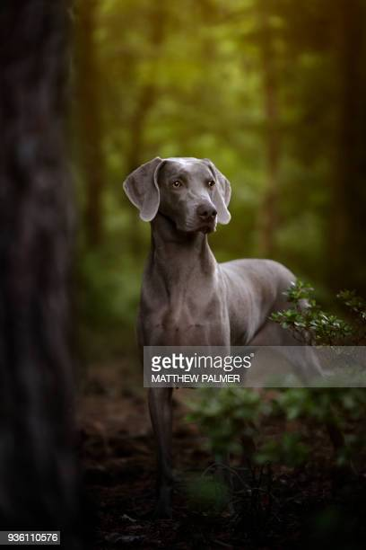 weimaraner in forest - hunting dog stock pictures, royalty-free photos & images