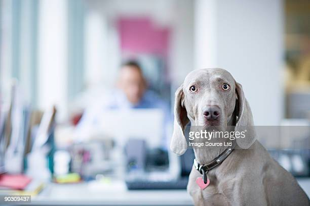 Weimaraner in office