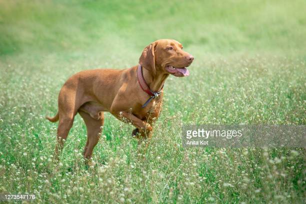 weimaraner in the meadow - traditionally hungarian stock pictures, royalty-free photos & images