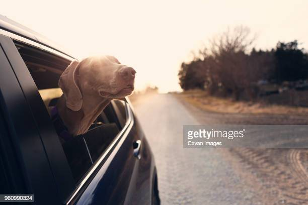 weimaraner looking through car window on country road - one animal stock photos and pictures